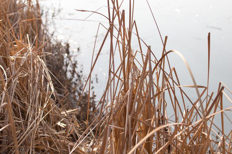 Bulrush outdoors in autumn royalty free stock photos