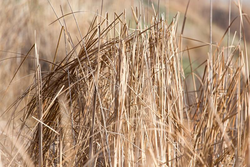 Bulrush outdoors in autumn stock images