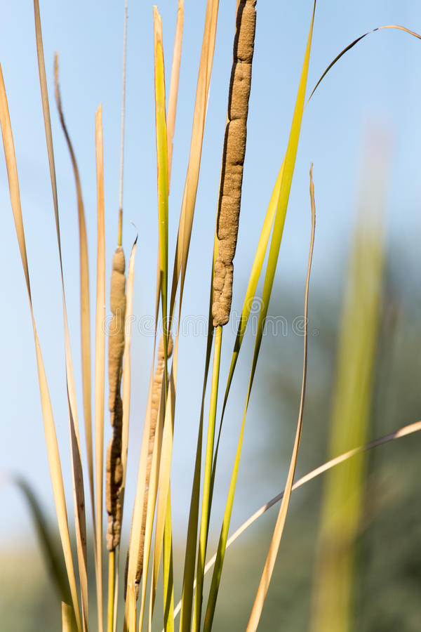 Bulrush Outdoors stock images
