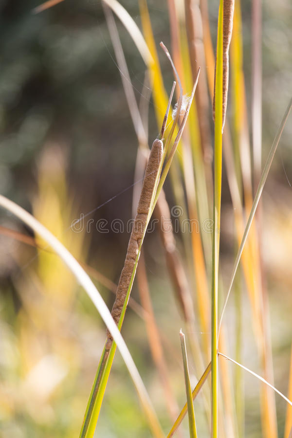 Bulrush Outdoors royalty free stock photography