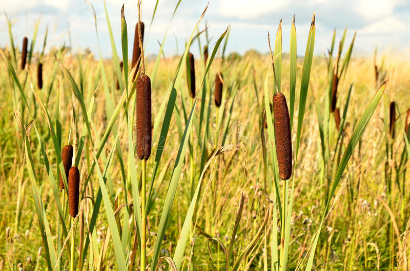 Bulrush plants. In the swamp royalty free stock photography