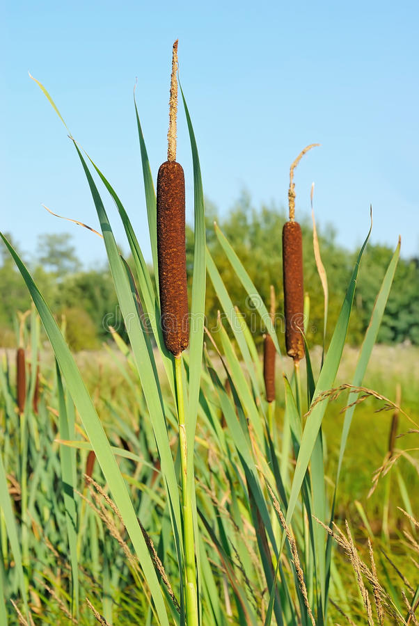 Bulrush plants. In the swamp on background blue sky stock photos