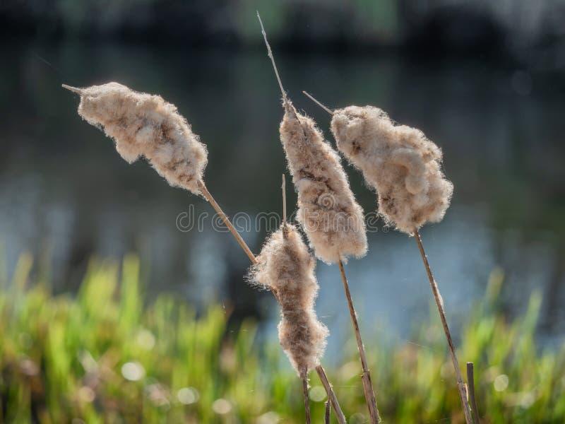 Bulrushes in een Deens moerasland dichtbij Vejle, Denemarken stock foto's