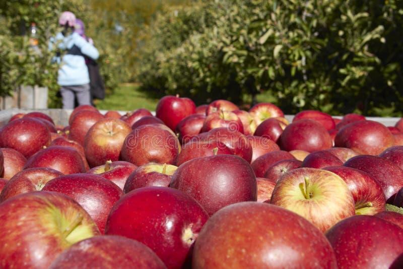 Bulto de manzanas en la caja de madera con cierre para arriba en huerta imágenes de archivo libres de regalías