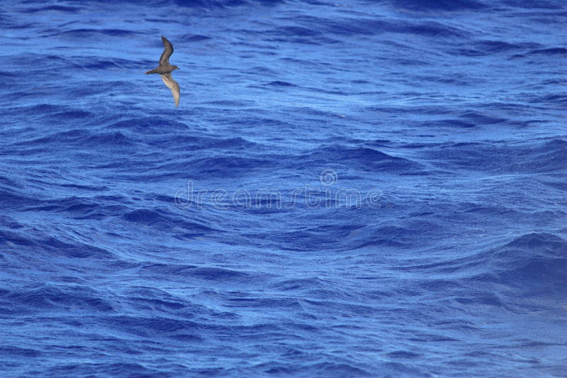 Bulwer`s Petrel. Bulweria bulwerii in Ogasawara island,Japan royalty free stock photography
