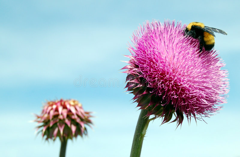 bumble κάρδος μελισσών στοκ φωτογραφίες με δικαίωμα ελεύθερης χρήσης