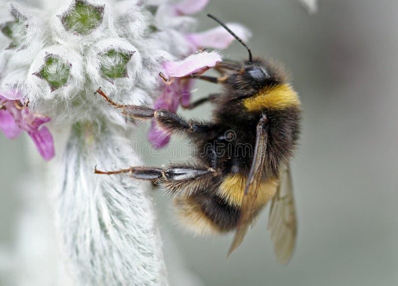 bumble λουλούδι μελισσών στοκ φωτογραφία με δικαίωμα ελεύθερης χρήσης