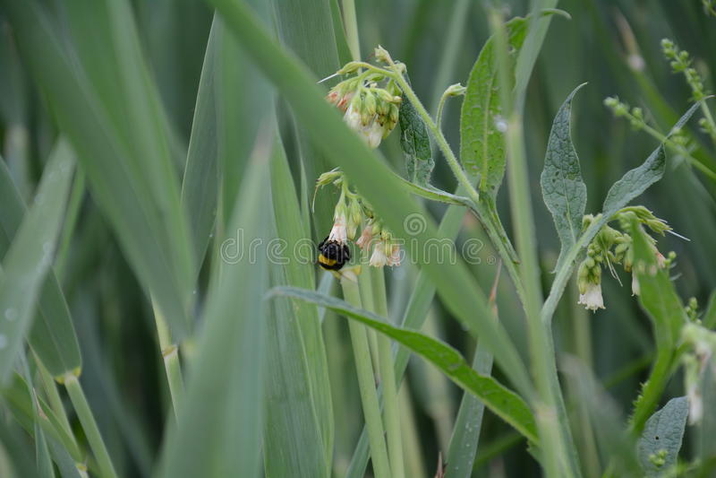bumble λουλούδι μελισσών στοκ εικόνα