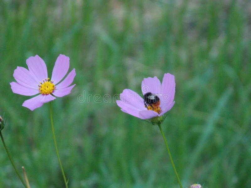 bumble λουλούδι μελισσών στοκ εικόνες