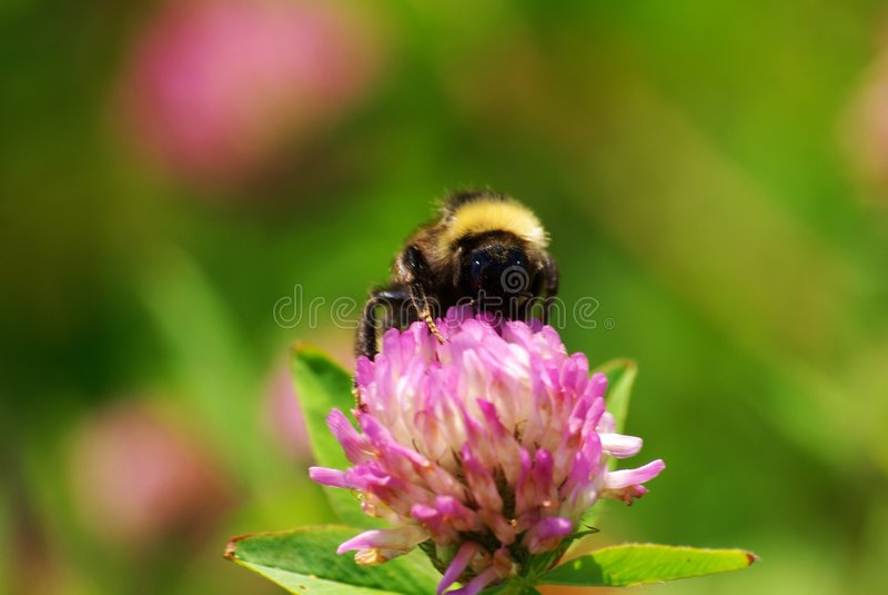 bumble στενός επάνω μελισσών στοκ εικόνα