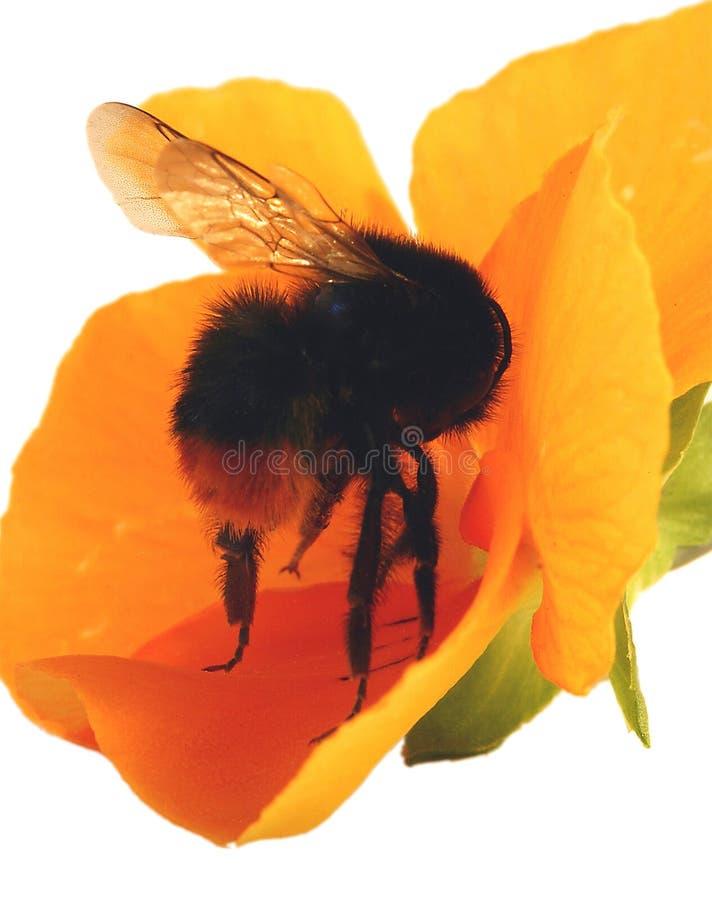 Bumble a abelha em uma flor imagens de stock royalty free