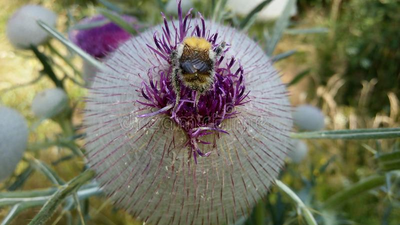 Bumble-bee και ο κάρδος στοκ εικόνες με δικαίωμα ελεύθερης χρήσης