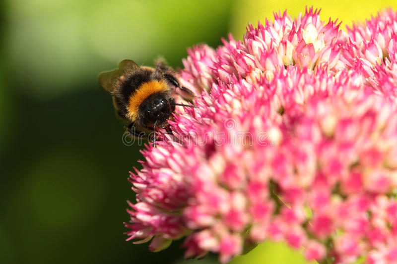 Download A Bumble Bee. Stock Photography - Image: 10976272