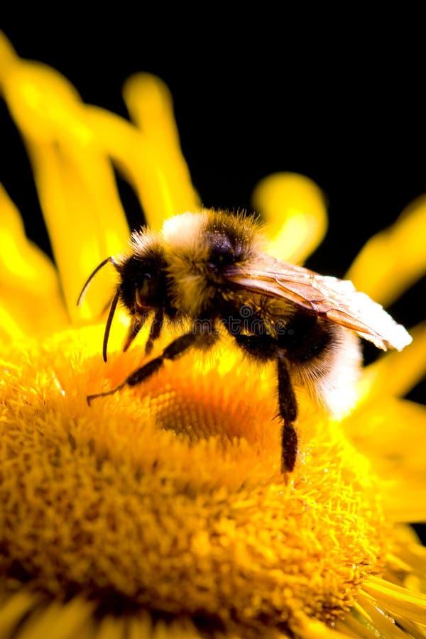 Download Bumble bee stock photo. Image of apidae, closeup, bombus - 11496996