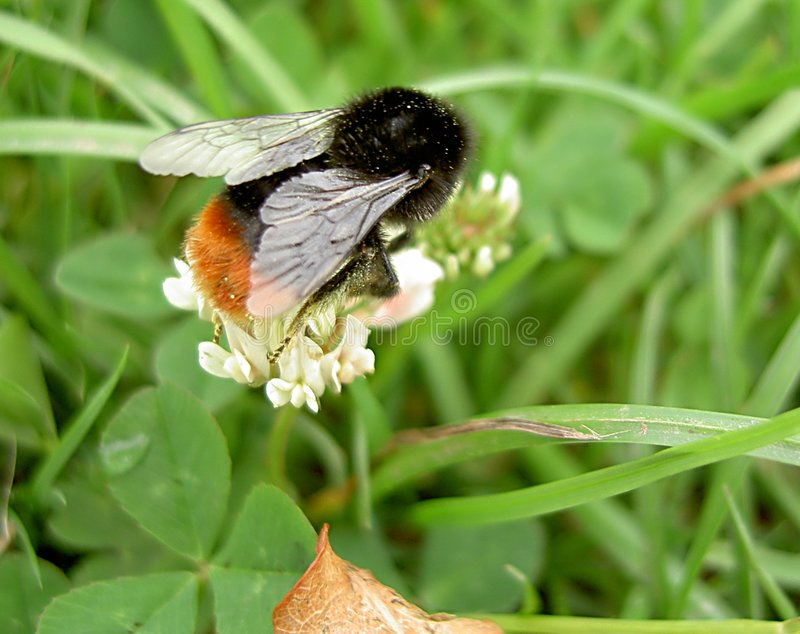 Download Bumble Bee Stock Photography - Image: 12612