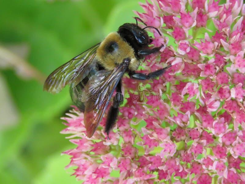 Bumble Bee foto de stock