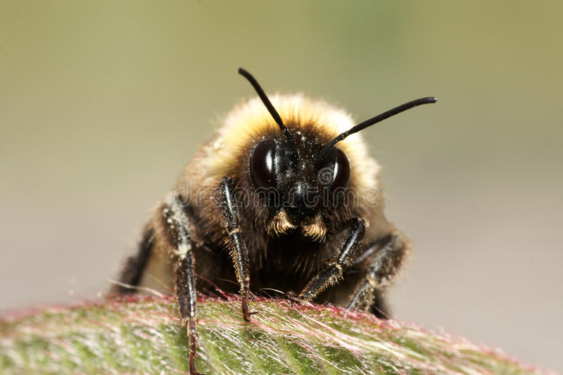 Download Bumble bee stock image. Image of striped, black, fuzzy - 18490507