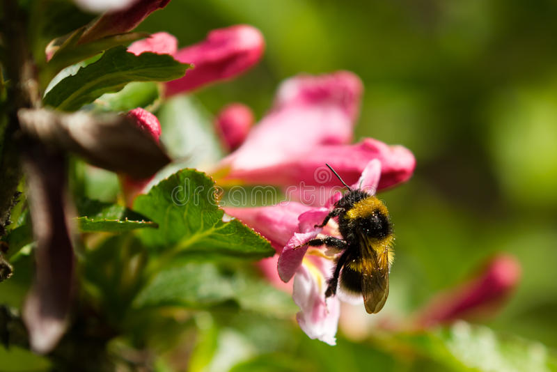 Download Bumble-bee stock image. Image of bumble, flight, purple - 20689899