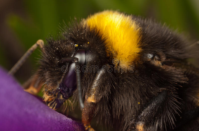 Download Bumble-bee stock image. Image of wild, dangerous, detail - 25708999