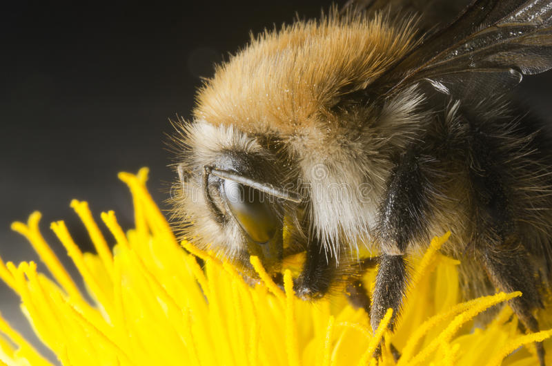 Download Bumble bee stock image. Image of close, up, bees, bumble - 26185871