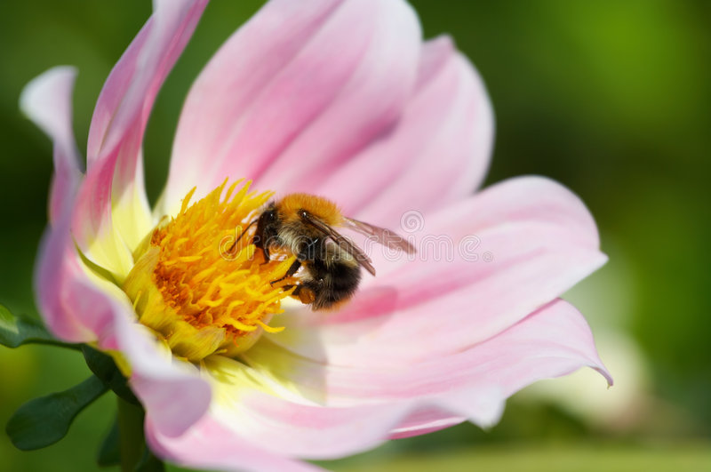 Download Bumble-bee stock photo. Image of decoration, beautiful - 3019012