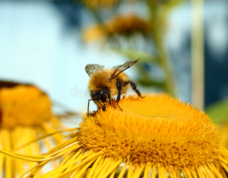 Download Bumble-bee stock photo. Image of single, flower, beautiful - 464908