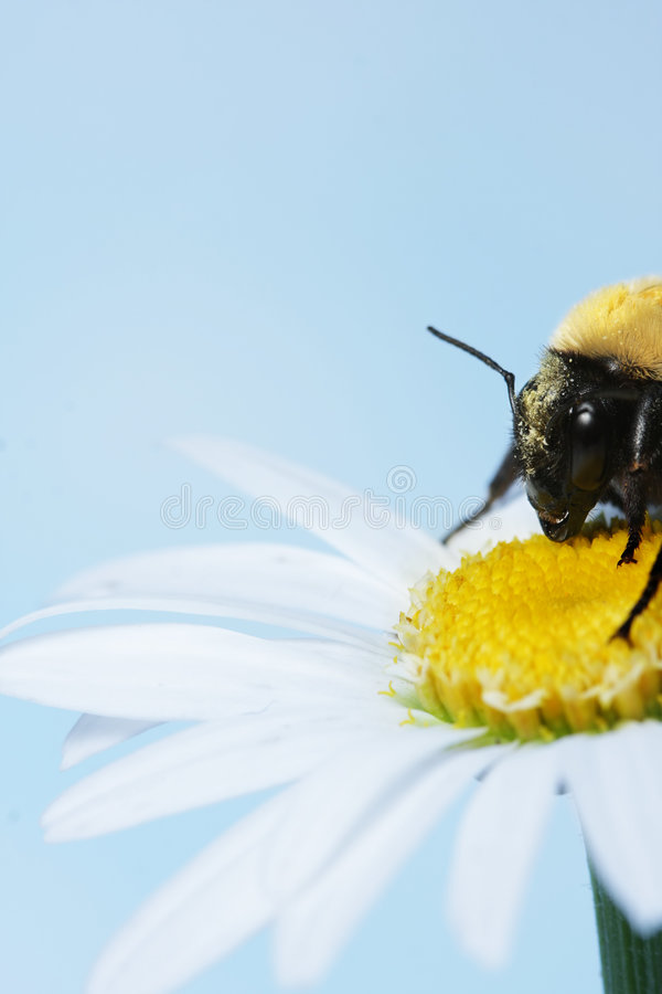 Download Bumble bee stock photo. Image of gathering, beauty, insect - 6470832