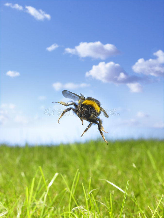Free Bumble Bee Stock Photos - 7296703