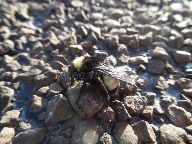 Bumble bee 2 stock photos