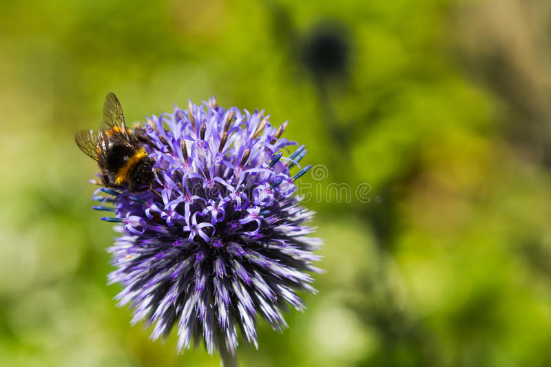 Bumble Bee on a Blue Thistle stock photo