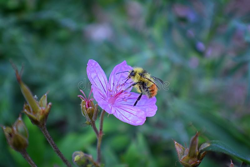 Bumble bee Bombus huntii, Hymenoptera, Apidae, Bombinae collecting pollen and nectar from wild flowers along hiking trails to Do royalty free stock images