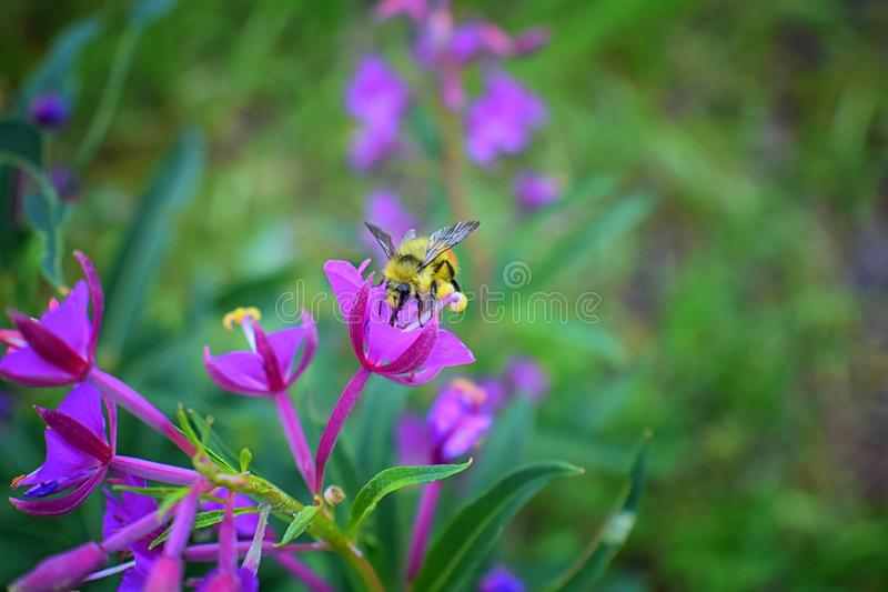 Bumble bee Bombus huntii, Hymenoptera, Apidae, Bombinae collecting pollen and nectar from wild flowers along hiking trails to Do stock photo