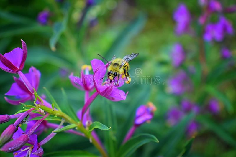Bumble bee Bombus huntii, Hymenoptera, Apidae, Bombinae collecting pollen and nectar from wild flowers along hiking trails to Do royalty free stock photography