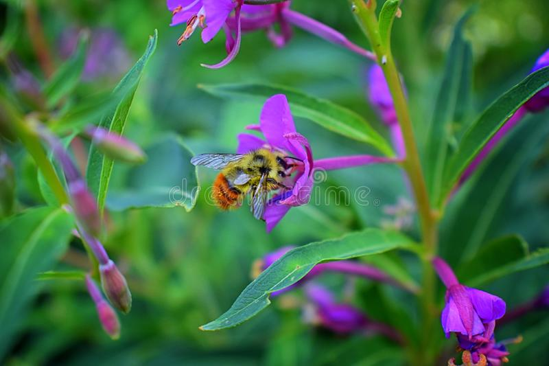 Bumble bee Bombus huntii, Hymenoptera, Apidae, Bombinae collecting pollen and nectar from wild flowers along hiking trails to Do royalty free stock photos