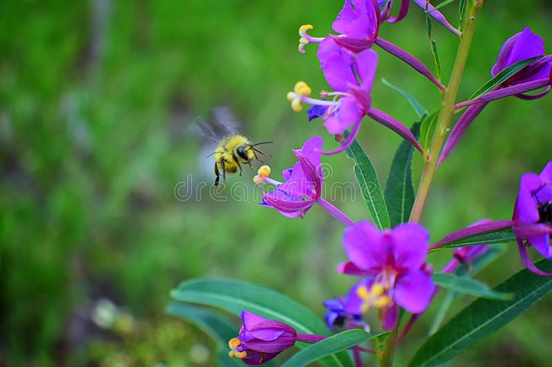 Bumble bee Bombus huntii, Hymenoptera, Apidae, Bombinae collecting pollen and nectar from wild flowers along hiking trails to Do royalty free stock photo