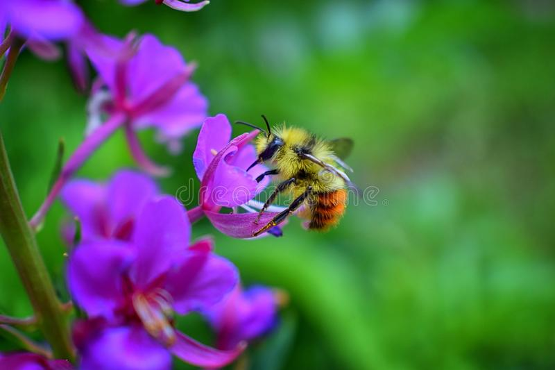 Bumble bee Bombus huntii, Hymenoptera, Apidae, Bombinae collecting pollen and nectar from wild flowers along hiking trails to Do stock image