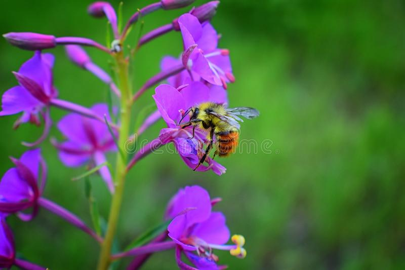 Bumble bee Bombus huntii, Hymenoptera, Apidae, Bombinae collecting pollen and nectar from wild flowers along hiking trails to Do royalty free stock image