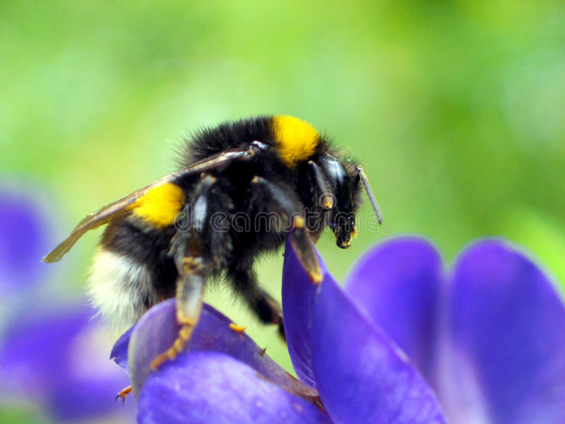 Bumble-Bee (Bombus terrestris). Bombus terrestris, the Buff-tailed Bumblebee or Large Earth Bumblebee is one of the most numerous bumblebee species in Europe. ( royalty free stock photo