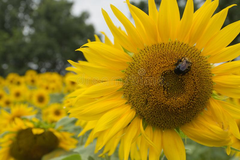 Pollinator on a Sunflower Face. Bumble bee on a bright sunflower in summer royalty free stock photography
