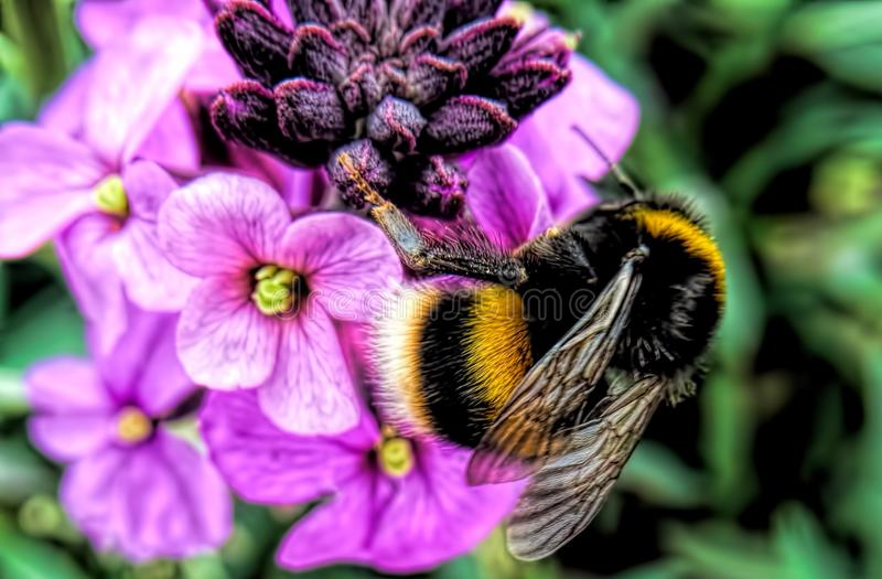 Bumble Bee. A bumblebee also written bumble bee is a member of the genus Bombus, part of Apidae, one of the bee families. This genus is the only extant group in royalty free stock images