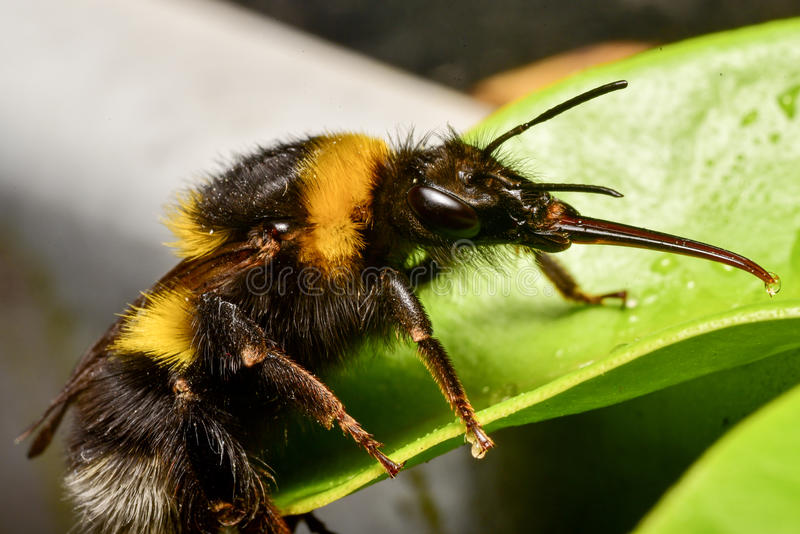 Bumble Bee close up royalty free stock images