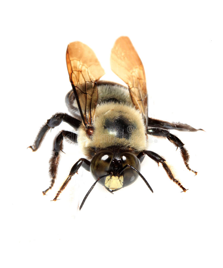 Free Bumble Bee Closeup Isolated On White Stock Image - 27456831