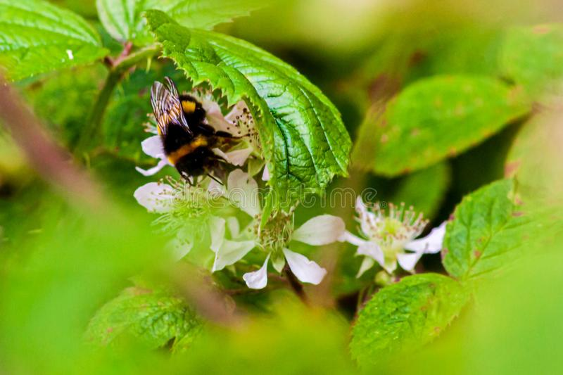 Bumble bee collecting nectar in a blackberry bush. stock photo
