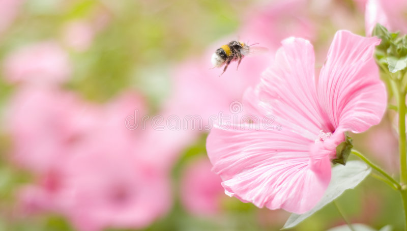 A bumble-bee collects pollen on flowers stock image