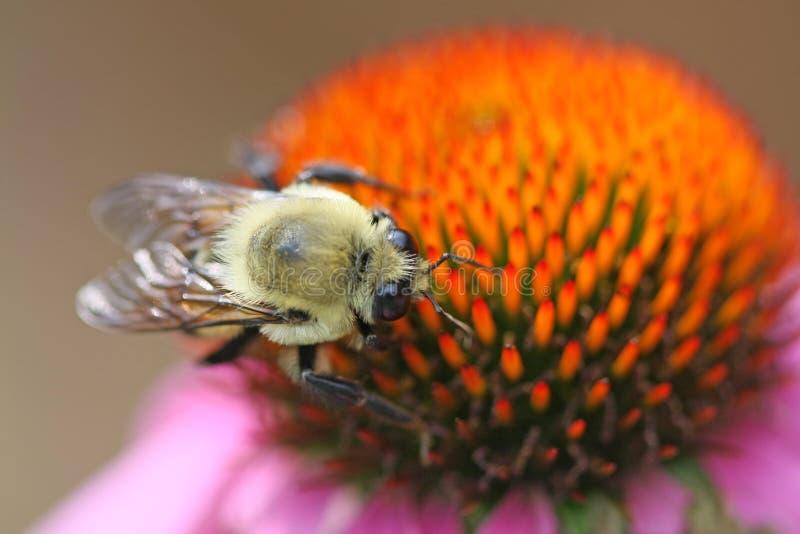 Bumble bee on coneflower stock image