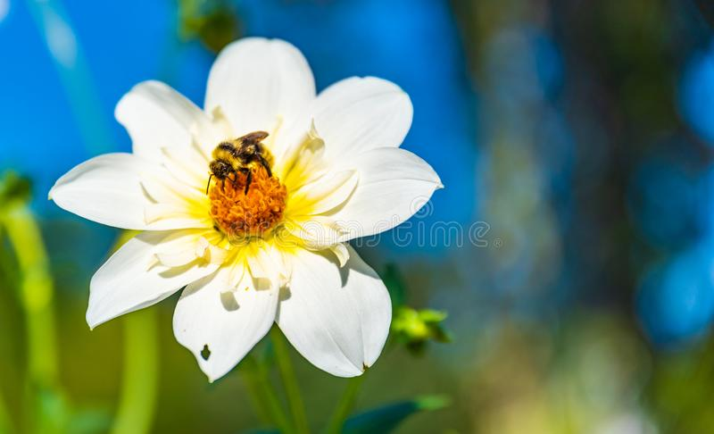 Bumble bee covered with yellow pollen collecting nectar from white flower against blurry background. Important for royalty free stock photos