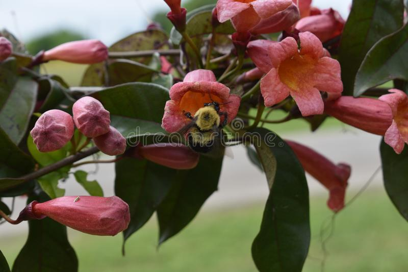 Bumble Bee on Crossvine on a East Texas Fence. Visiting Bumble bee on flowering Crossvine on a fence post in East Texas stock photo
