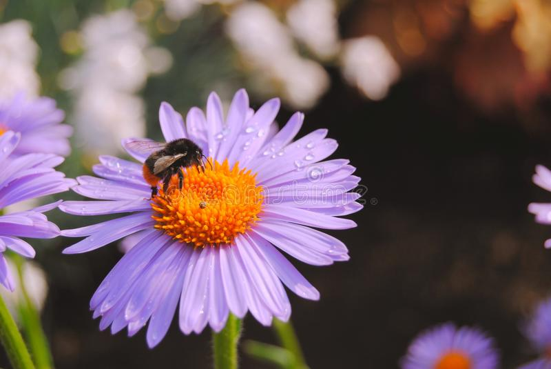 Bumble-Bee drinking nectar stock photo