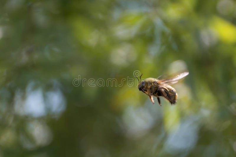 Bumble bee. In flight, blurred background royalty free stock photos