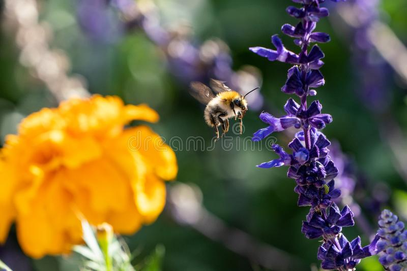 Bumble Bee in-flight between flowers. A warm autumnal shot of a Bumble Bee in motion as it flies collecting nectar towards a Basil flower. As it flies it`s fast stock photos